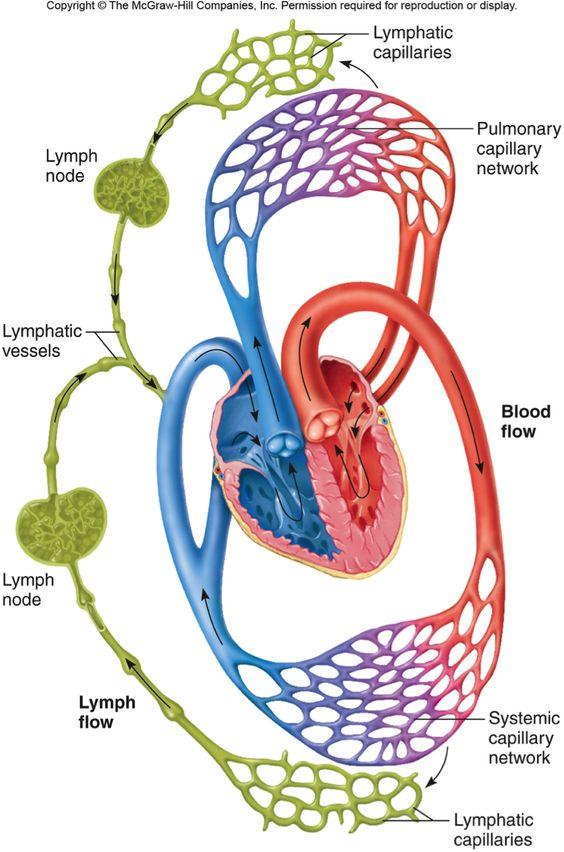 Hệ thống tim mạch và hệ tuần hoàn được đảm bảo hơn khi sử dụng trà xanh. Đây là tác dụng của trà xanh mà nhiều người chưa biết.